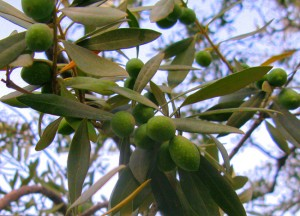 Thassos_olives__2_1